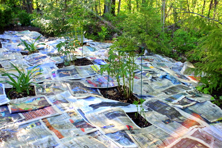 Newspapers to kill weeds and protect garden