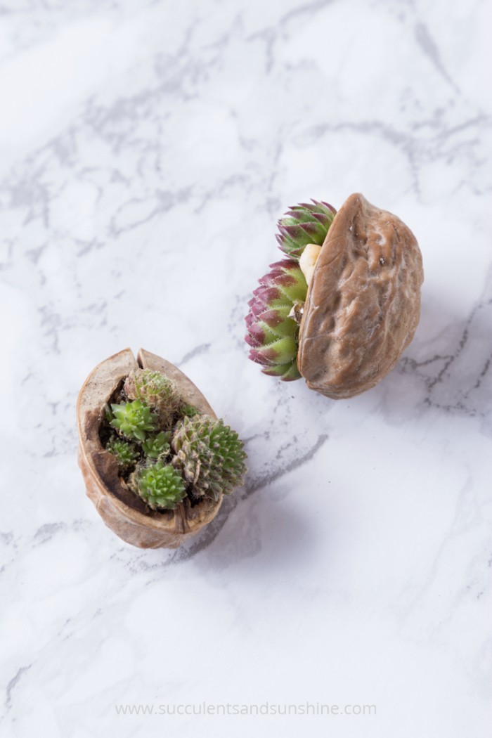 walnut-shell-succulents