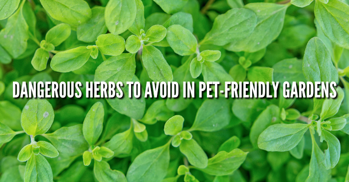 Herbs Toxic To Dogs And Cats