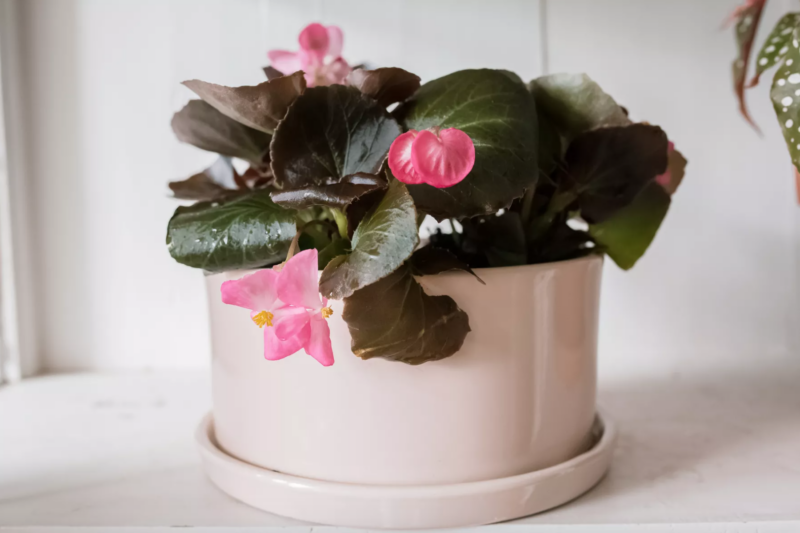flowering houseplant in a pot on a table